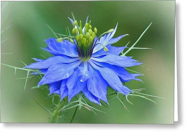 Damascena Greeting Cards - Love in a Mist Flower Greeting Card by Karen Adams