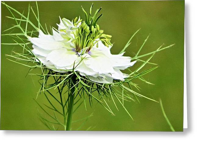 Damascena Greeting Cards - Love In A Mist Greeting Card by B Vesseur