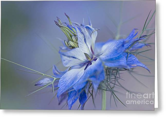Close Focus Floral Greeting Cards - Love-in-a-mist Greeting Card by Jacky Parker