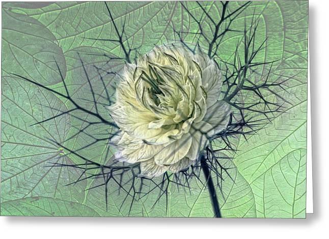 Damascena Greeting Cards - Love-in-a-mist Greeting Card by Joachim G Pinkawa