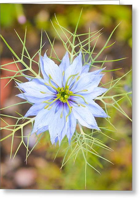Rag Lady Greeting Cards - Love in a Mist Greeting Card by Mary Moore