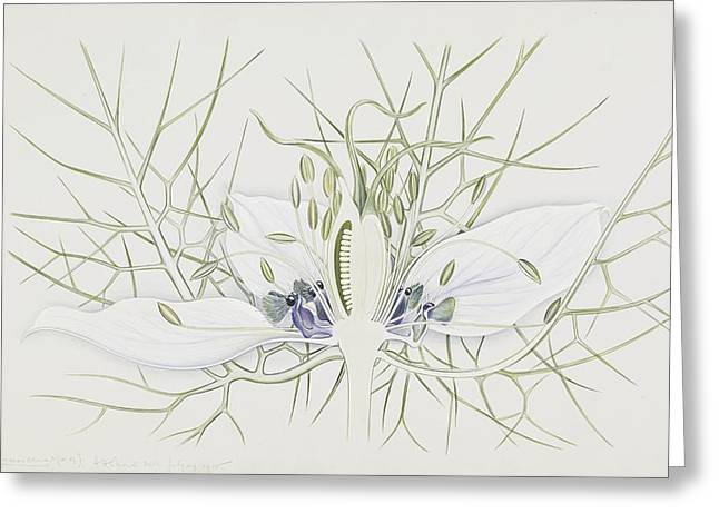 Damascena Greeting Cards - Love-in-a-mist (Nigella damascena) Greeting Card by Science Photo Library