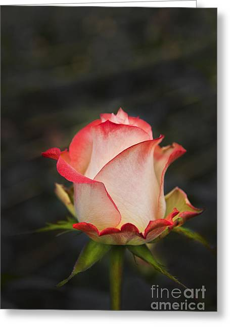 Neil Young Greeting Cards - Love Is A Rose II Greeting Card by Al Bourassa