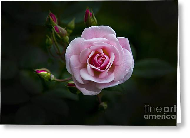 Canadian Photographer Greeting Cards - Love Is A Rose IV Greeting Card by Al Bourassa