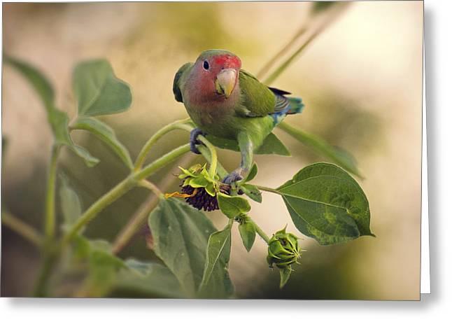 Peach-faced Lovebird Greeting Cards - Lovebird on  Sunflower Branch  Greeting Card by Saija  Lehtonen