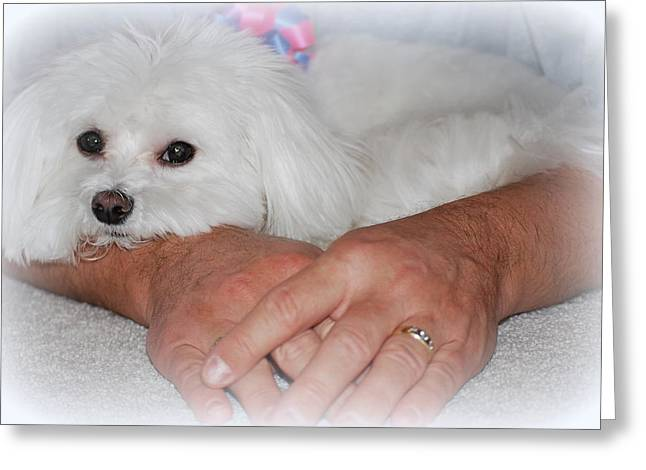 Toy Maltese Photographs Greeting Cards - Loved Greeting Card by Mary Beth Landis