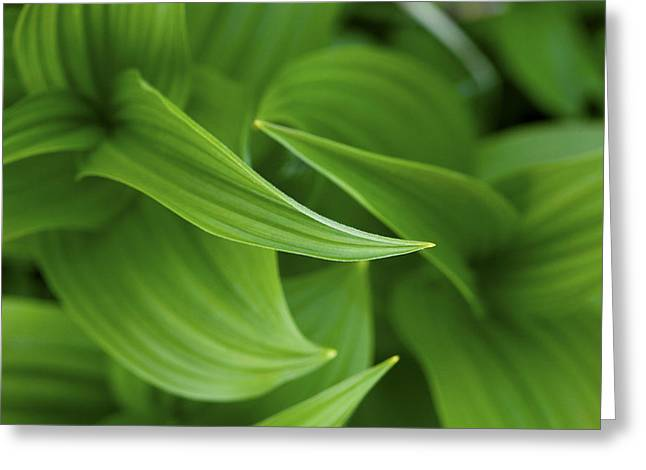 False Hellebore Greeting Cards - Lovely Corn Lily Glacier National Park Greeting Card by Rich Franco