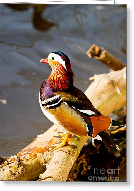 Lovely Duckling Greeting Card by Syed Aqueel