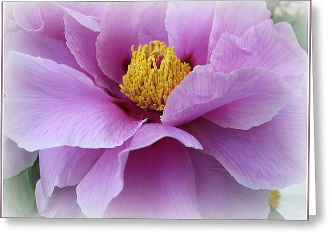 Indiana Flowers Greeting Cards - Lovely in Lavender - Peony Greeting Card by  Photographic Art and Design by Dora Sofia Caputo