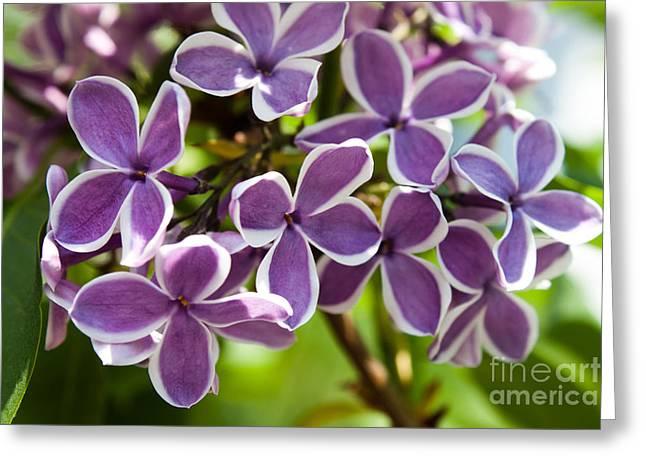 Joann Copeland-paul Greeting Cards - Lovely Lilacs Greeting Card by Joann Copeland-Paul