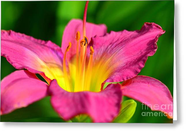 Struckle Greeting Cards - Lovely  Lilly Greeting Card by Kathleen Struckle