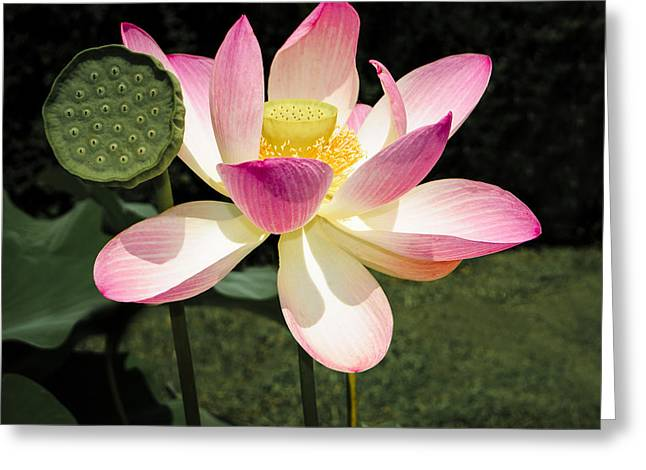 Biology Greeting Cards - Lovely Lotus Blossom Greeting Card by Penny Lisowski