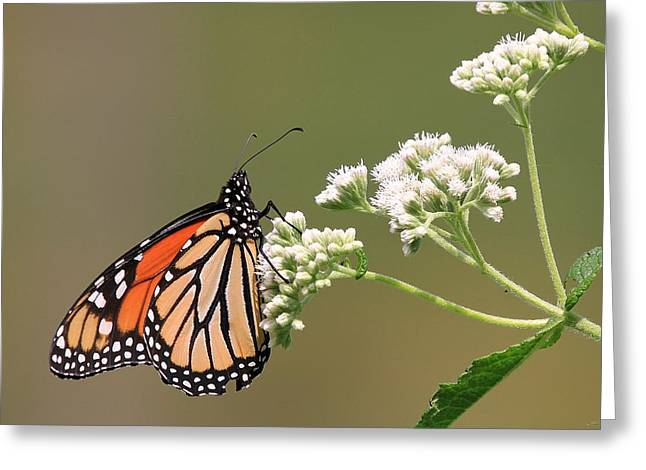 Centreville Greeting Cards - Lovely Monarch Greeting Card by David Byron Keener