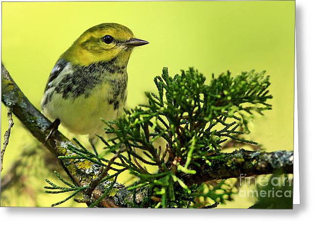 Shelley Myke Greeting Cards - Lovely Warbler on a Summers Day Greeting Card by Inspired Nature Photography By Shelley Myke