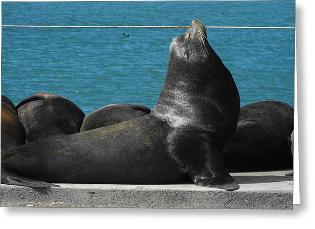 California Sea Lions Greeting Cards - Lover of The Sun Greeting Card by Carolynn Cumor
