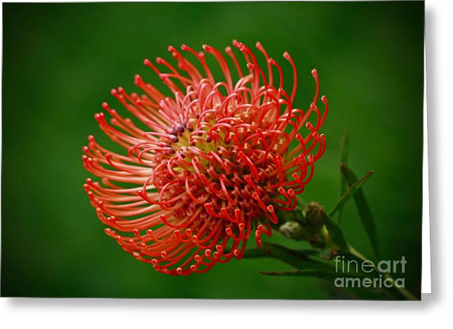 Orange Pin Cushion Greeting Cards - Loving the Color Orange Greeting Card by Inspired Nature Photography By Shelley Myke
