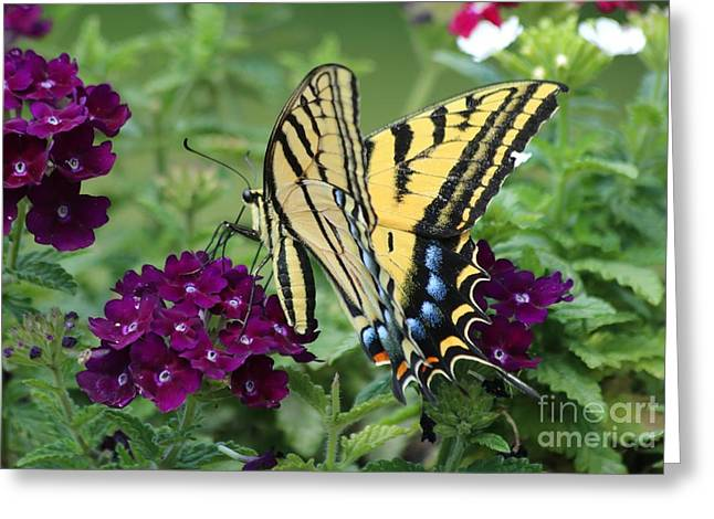 Two Tailed Photographs Greeting Cards - Lovely Two-tailed Swallowtail Greeting Card by Angela Koehler