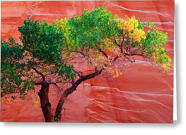 Escalante National Monument Greeting Cards - Low Angle View Of A Cottonwood Tree In Greeting Card by Panoramic Images