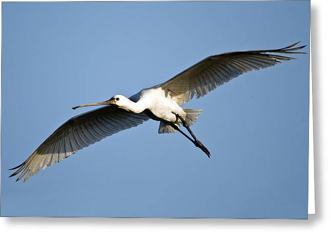 Low Wing Photographs Greeting Cards - Low Angle View Of A Eurasian Spoonbill Greeting Card by Panoramic Images