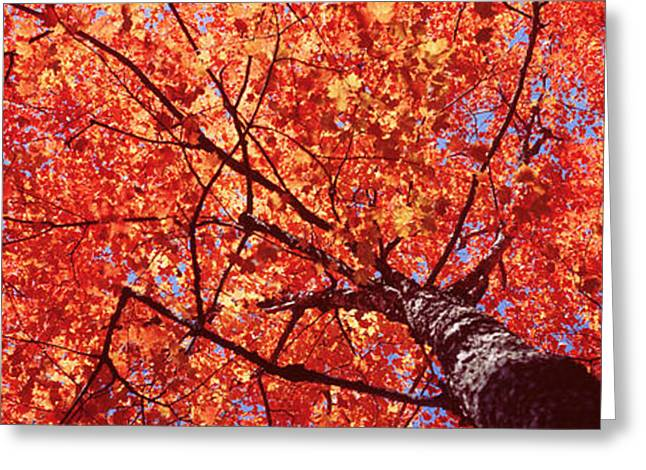 Spring In Maine Photographs Greeting Cards - Low Angle View Of A Maple Tree, Acadia Greeting Card by Panoramic Images