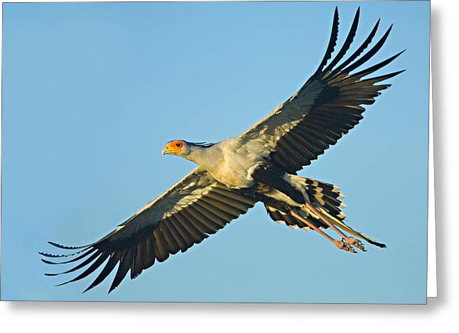 Low Wing Photographs Greeting Cards - Low Angle View Of A Secretary Bird Greeting Card by Panoramic Images