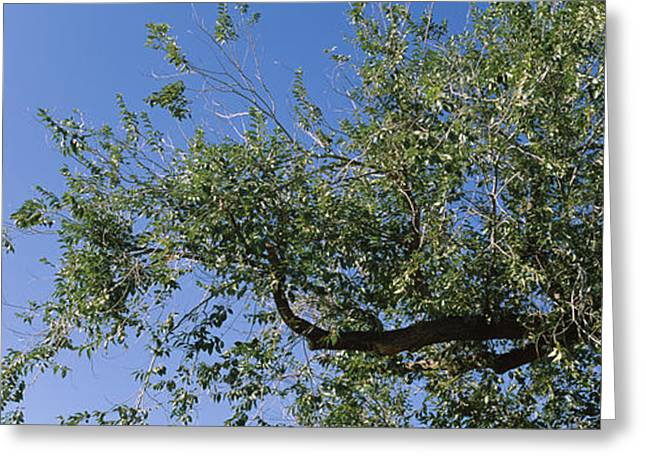San Rafael Greeting Cards - Low Angle View Of A Tree Branch Greeting Card by Panoramic Images