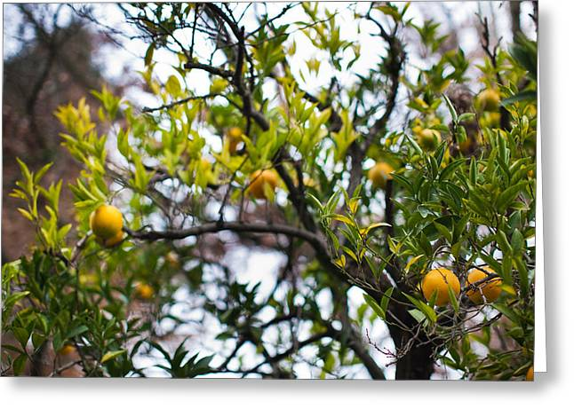 Sonoma County Greeting Cards - Low Angle View Of An Orange Tree Greeting Card by Panoramic Images