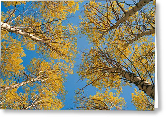 Directly Below Greeting Cards - Low Angle View Of Aspen Trees, Eastern Greeting Card by Panoramic Images