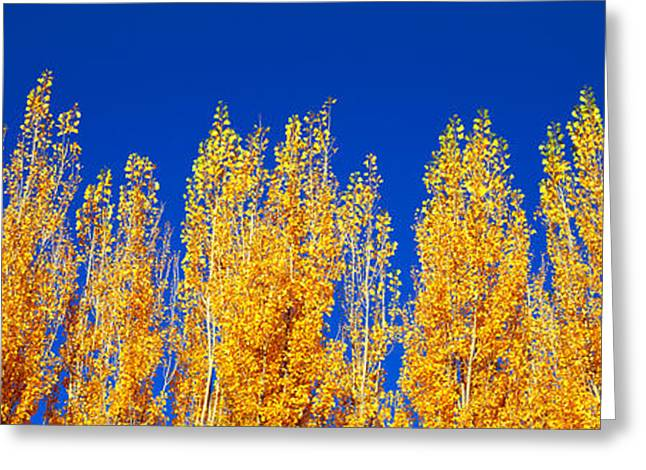 Clear Fall Day Greeting Cards - Low Angle View Of Poplar Trees Greeting Card by Panoramic Images