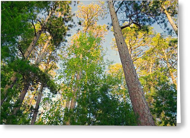 Park Scene Greeting Cards - Low Angle View Of Red Pine Trees Greeting Card by Panoramic Images