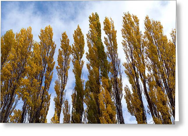 National Park Photography Greeting Cards - Low Angle View Of Trees, Aspens Greeting Card by Panoramic Images