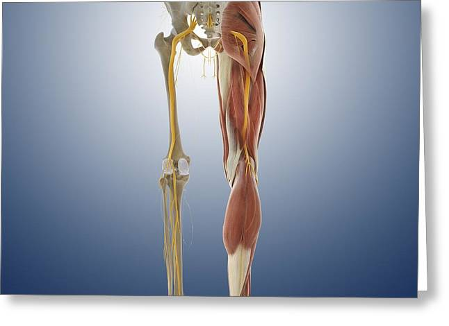 Sciatic Nerves Greeting Cards - Lower body anatomy, artwork Greeting Card by Science Photo Library