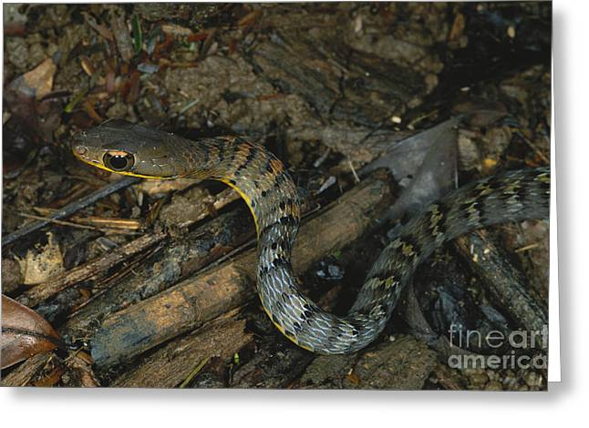 Central American Snake Greeting Cards - Lowland Forest Racer Greeting Card by Gregory G. Dimijian, M.D.