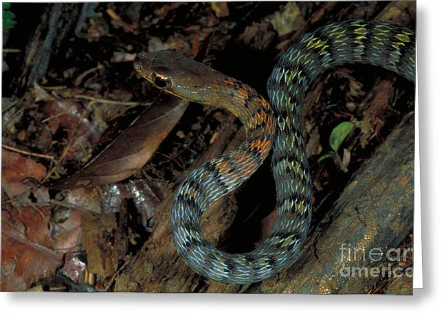 Central American Snake Greeting Cards - Lowland Forest Racer Greeting Card by Gregory G. Dimijian