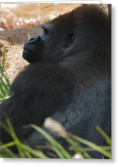 African Saint Greeting Cards - Lowland Gorilla Profile Greeting Card by Chris  Brewington Photography LLC