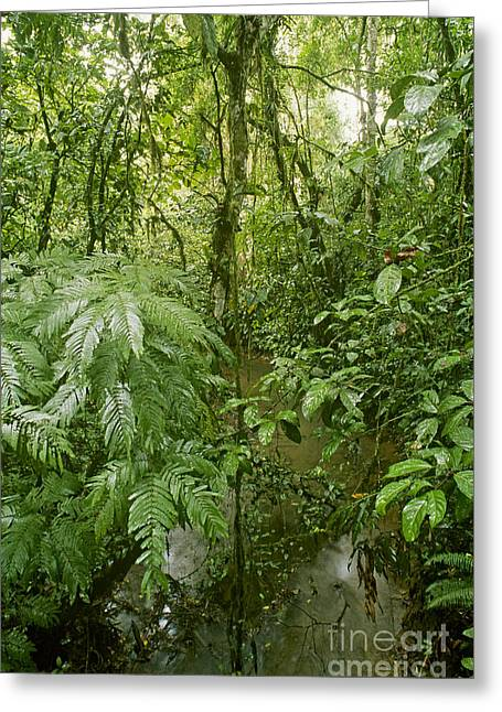Costa Greeting Cards - Lowland Tropical Rainforest Greeting Card by Gregory G. Dimijian, M.D.