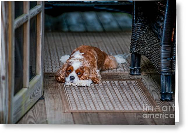 Spaniel Greeting Cards - Loyal Pup Greeting Card by Dale Powell