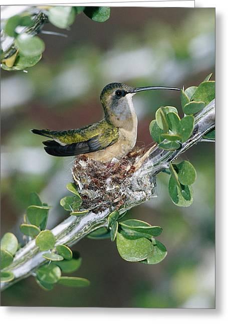 Ocotillo Cactus Greeting Cards - Lucifer Hummingbird Female Nesting Greeting Card by Konrad Wothe
