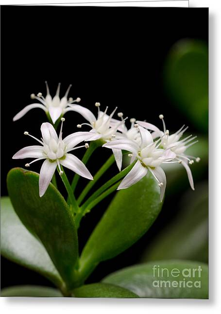 White Greeting Cards - LUCKY BOUQUET PT Jade plant friendship tree money plant Greeting Card by Andy Smy