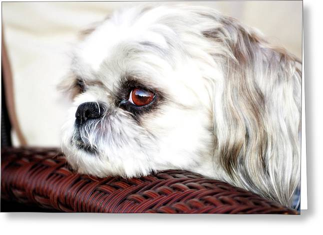 Puppies Digital Greeting Cards - Lucy Greeting Card by Molly McPherson