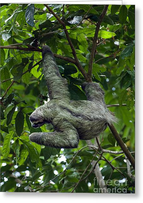 Brown-throated Three-toed Sloth Greeting Cards - Luiaard 3 Greeting Card by Arterra Picture Library