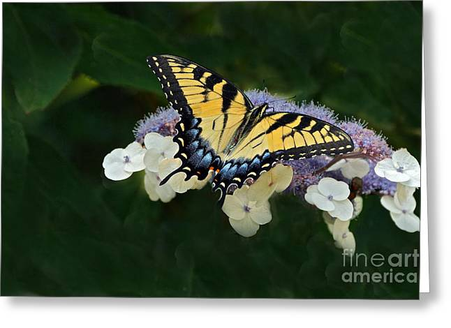Luminous Butterfly On Lacecap Hydrangea Greeting Card by Byron Varvarigos