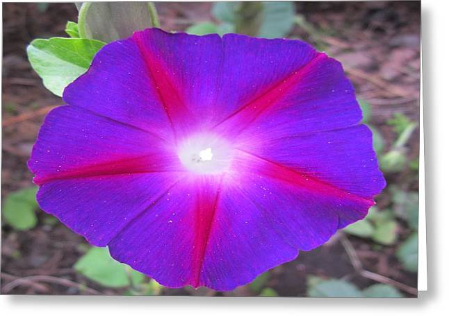 Twinkle Greeting Cards - Luminous Morning Glory in purple shines on you Greeting Card by Rosita Larsson