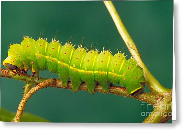 Luna Greeting Cards - Luna Moth Caterpillar Greeting Card by David N. Davis