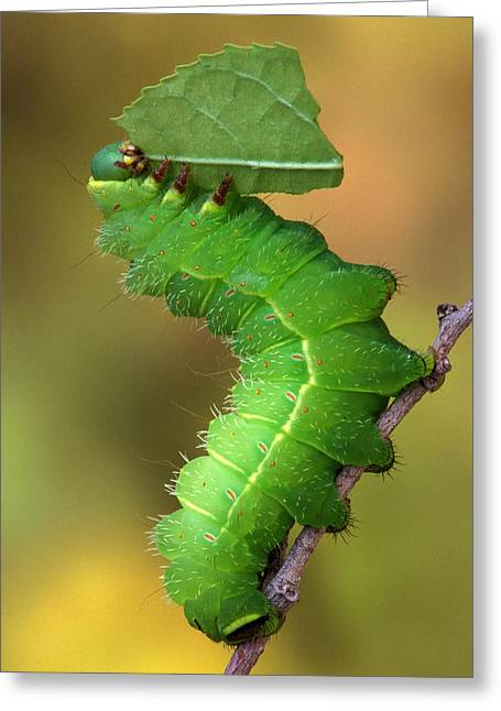 Best Sellers -  - Eating Entomology Greeting Cards - Luna moth caterpillar eating Greeting Card by Robert Jensen