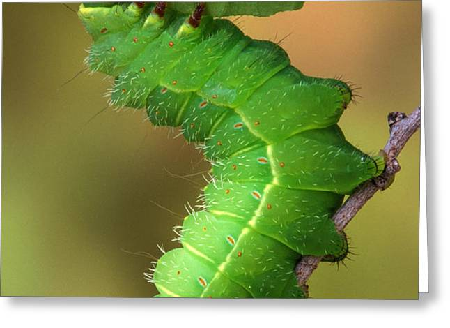 Luna moth caterpillar eating Greeting Card by Robert Jensen