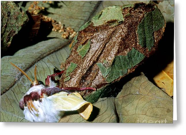 Cocoon Greeting Cards - Luna Moth Emerging From Cocoon Greeting Card by Millard H. Sharp