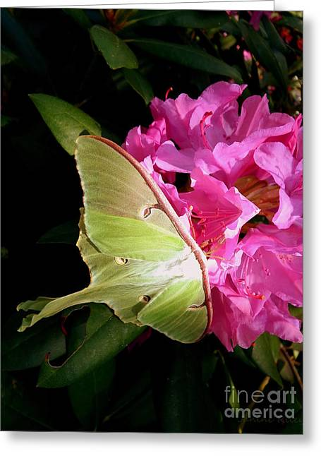 Luna Moth Greeting Cards - Luna Moth Greeting Card by Janine Riley
