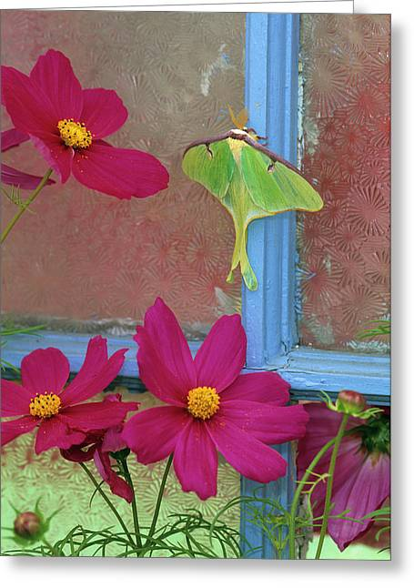 Luna Moth On Old Window With Cosmos Greeting Card by Jaynes Gallery