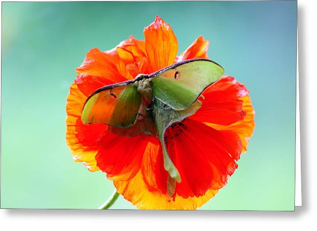 Randall Branham Greeting Cards - Luna Moth on Poppy Aqua back ground Greeting Card by Randall Branham